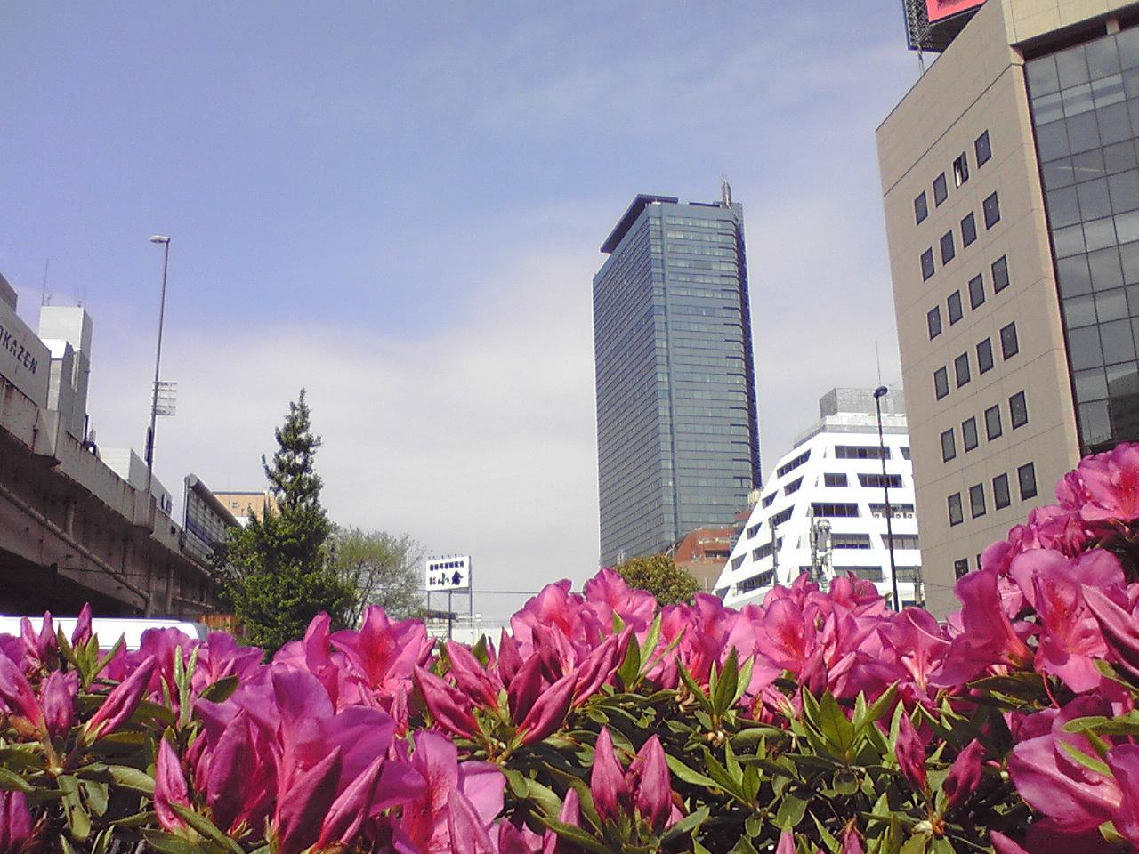 そして東京はツツジ満開。