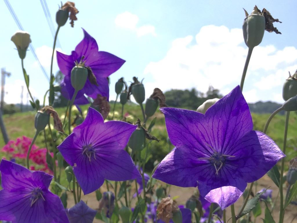 杉瓜の夏花