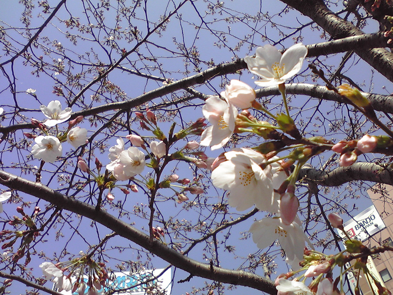 【東京】桜咲く