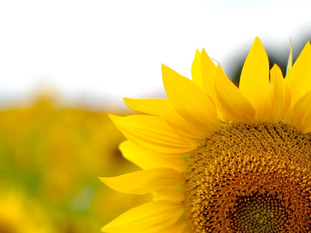 行く夏を送る向日葵。