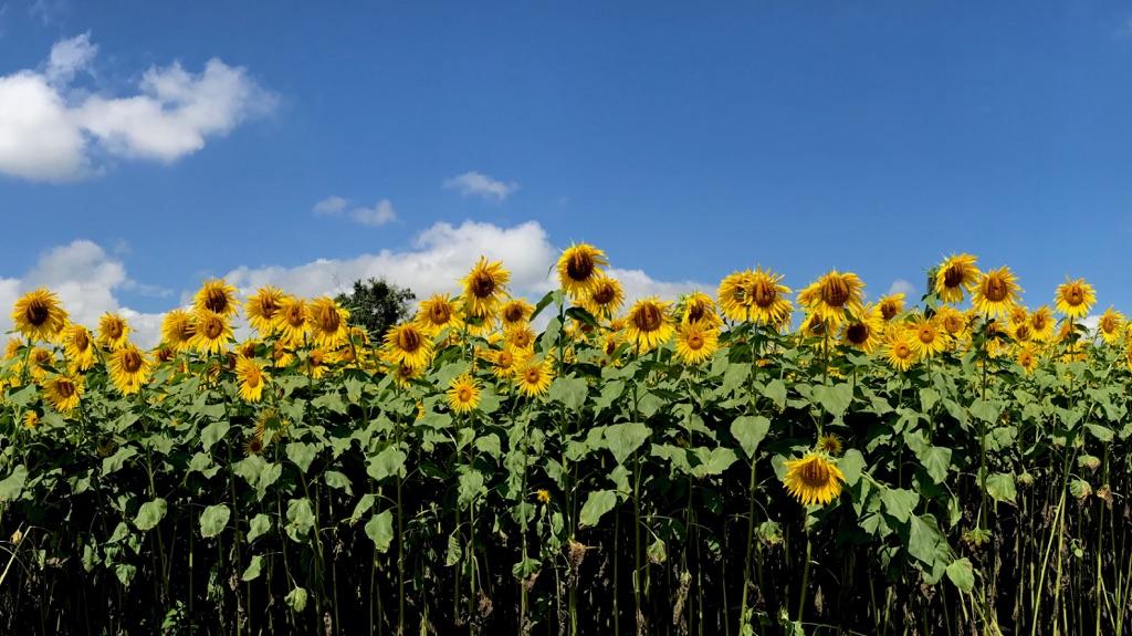 長野牧場の向日葵と山栗