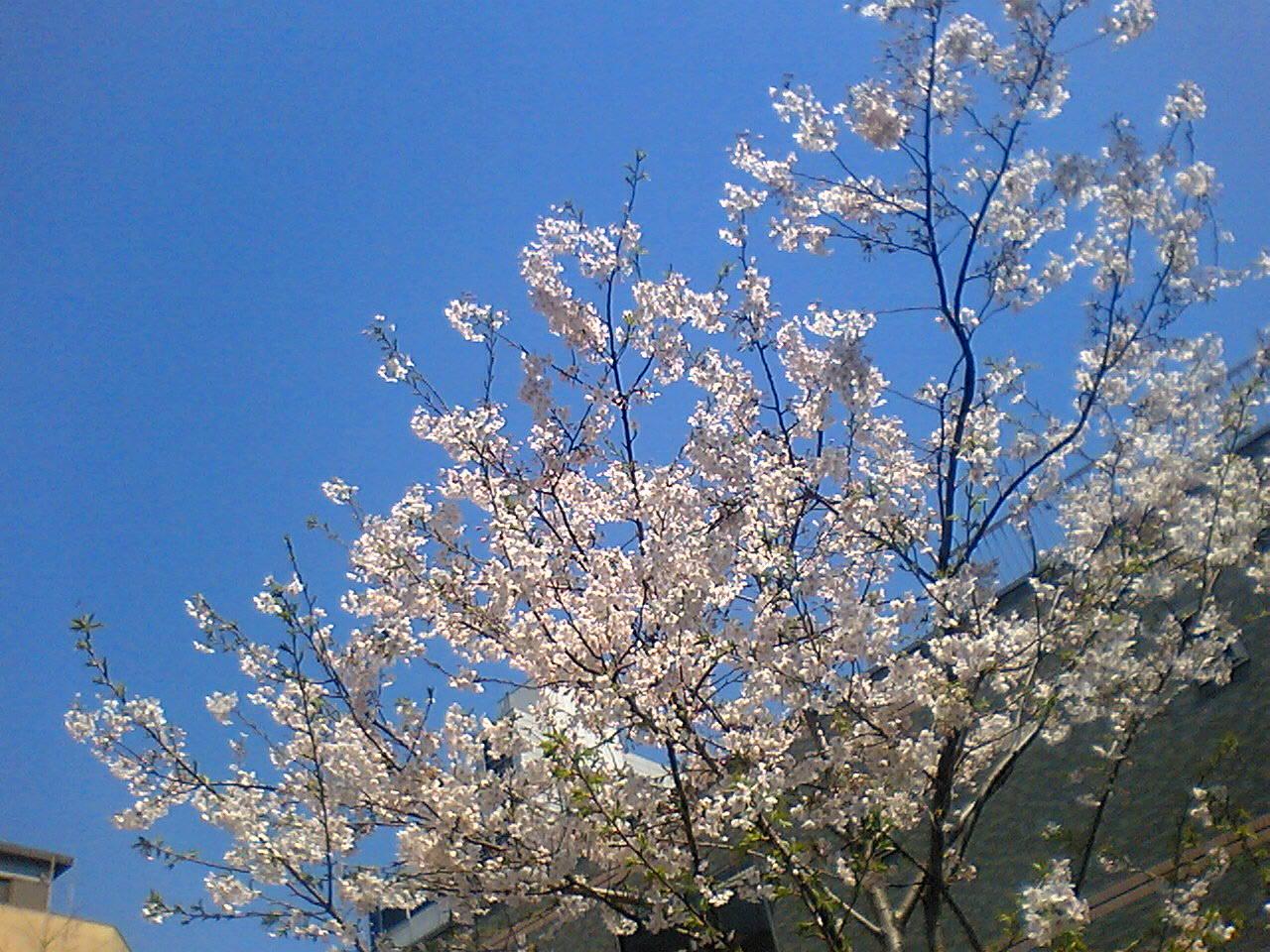 今日の東京【桜満開】